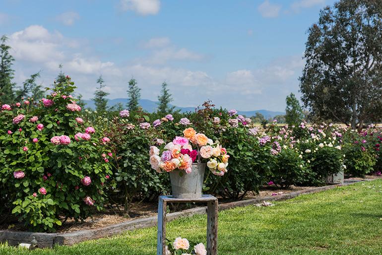 garden_roses_bucket